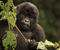 great apes of africa tour